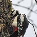 (Piciformes: Picidae) Dendrocopos major ♂, Större hackspett / Great spotted woodpecker