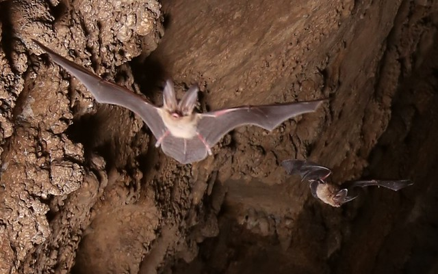 Zoomed in version of Virginia Big-Eared Bat flying