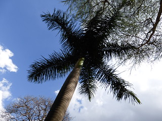 Palm tree in the Fairview garden