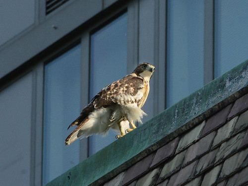 Cathedral Hawk Fledgling - 3307