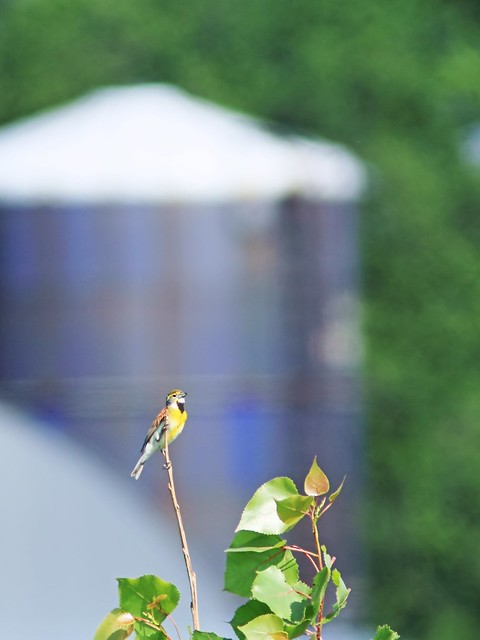 Dickcissel and silo 20140608