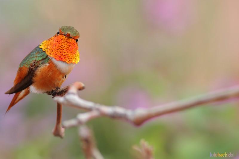 Allen's Hummingbird 110604-2