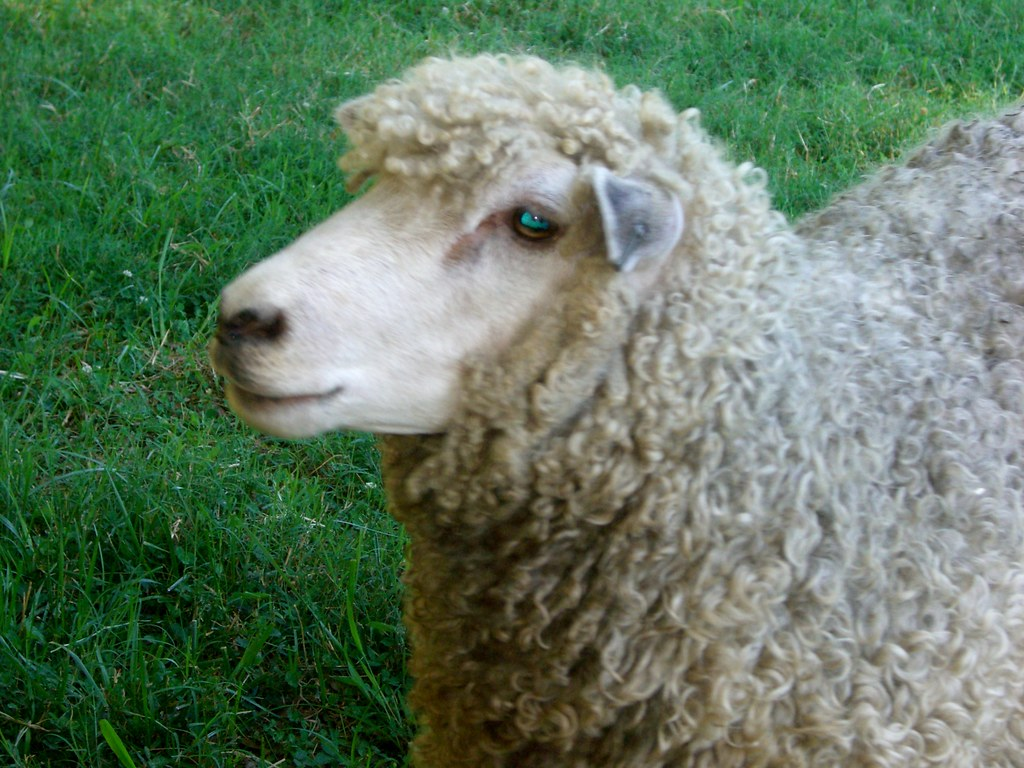 Williamsburg Sheep Blue eyes