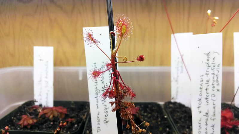 Drosera madagascariensis flower stalk.