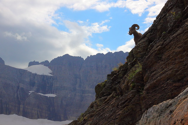 IMG_7388 Bighorn Sheep, Grinnell Glacier Viewpoint Trail