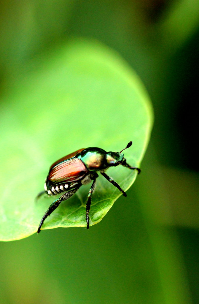 BeetleIMG_2080