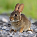 Eastern Cottontail  Rabbit by Steve Gifford by Steve Gifford - IN