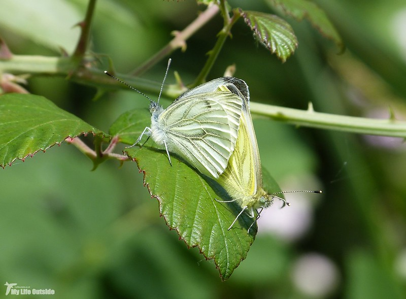 P1080174 - Green-veined Whites, Cotswold Water Park