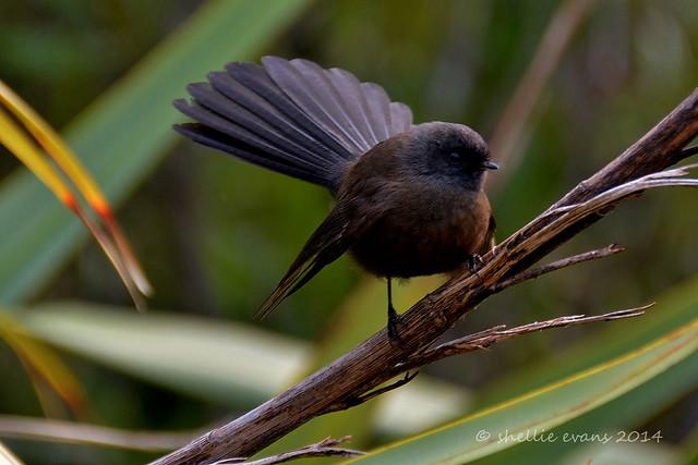 Black Morph Fantail Piwakawaka Birdingnz Net Vedi la nostra fantial selezione dei migliori articoli speciali o personalizzati, fatti a mano dai nostri negozi. black morph fantail piwakawaka birdingnz net