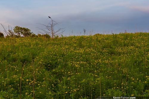 flowers sunset summer green field june yellow evening dusk iowa wildflowers redwingblackbird keosauqua tamron1750mmf28 lakesugema