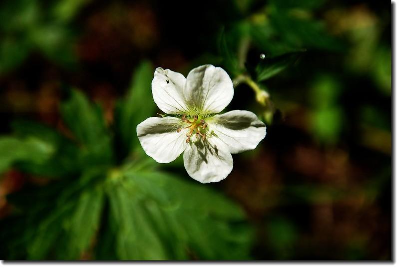 White Geranium 1
