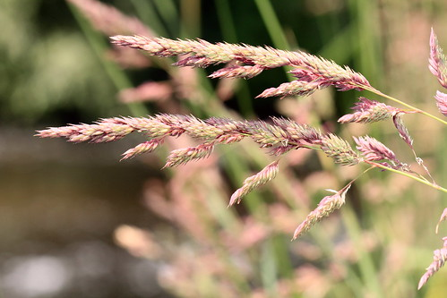 Reed Canary Grass 30364