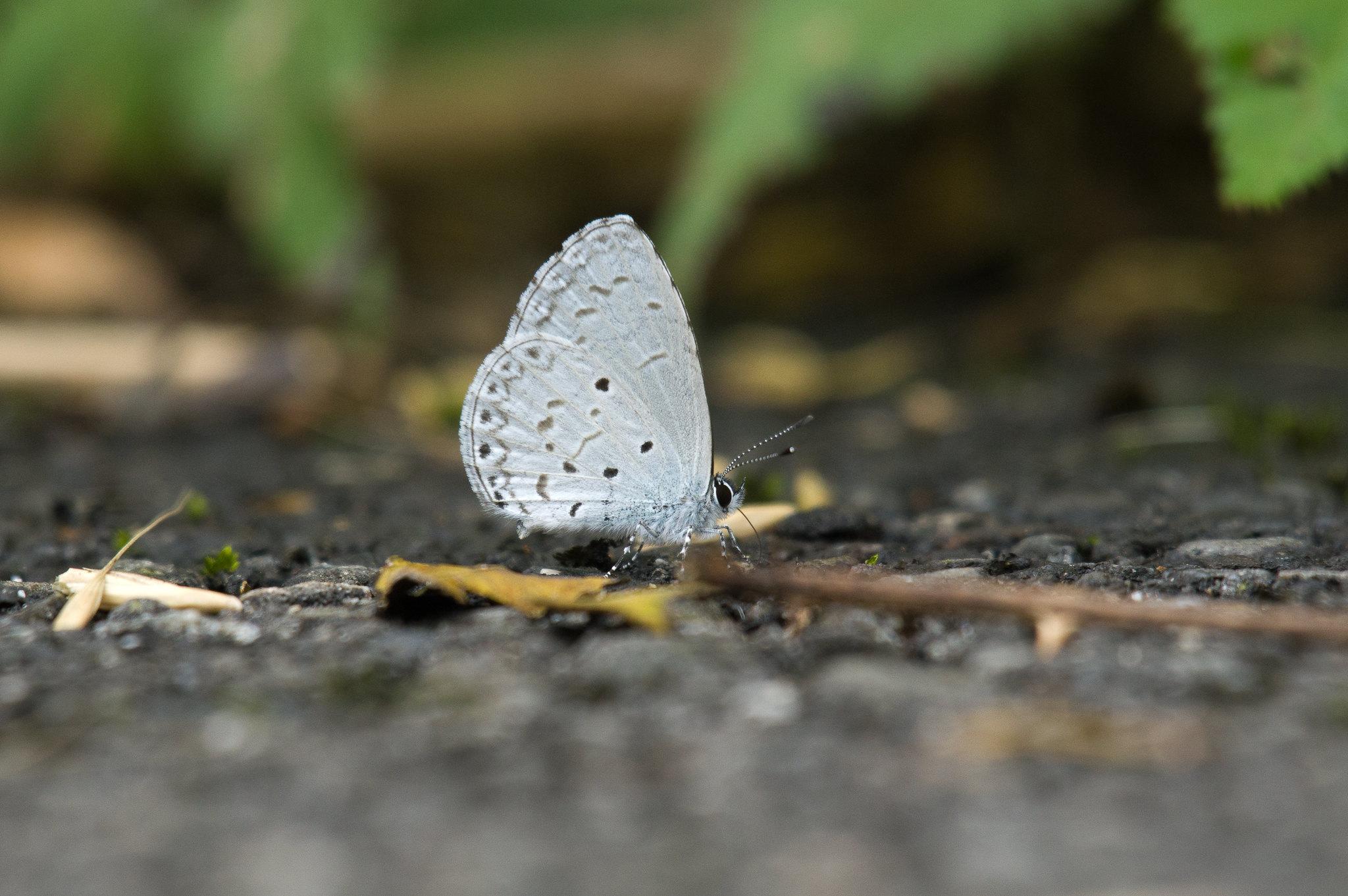 埔里琉璃小灰蝶