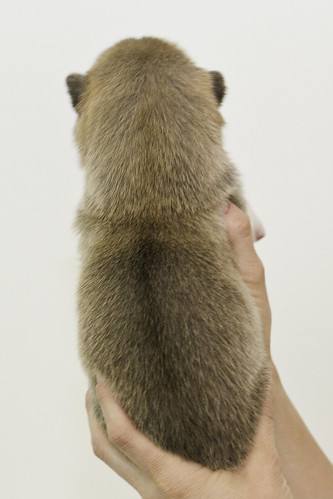 Anya-Litter1-10Days-Puppy5(Female)b