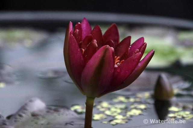 Waterlelie Granat / Nymphaea Granat