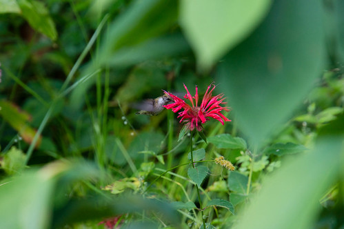 09488 Ruby-Throated Hummingbird on Scarlet Bee Balm