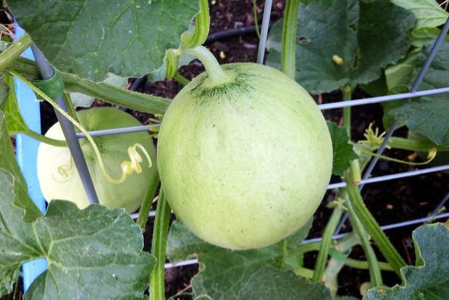 Serenade Melon