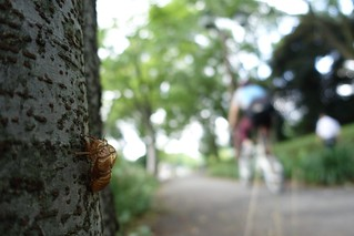 Cast-off shell of the cicada No.6 (one scene of commuting 2014/07 No.14).