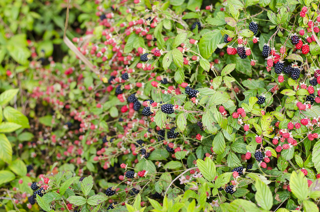 Blackberries along a trail