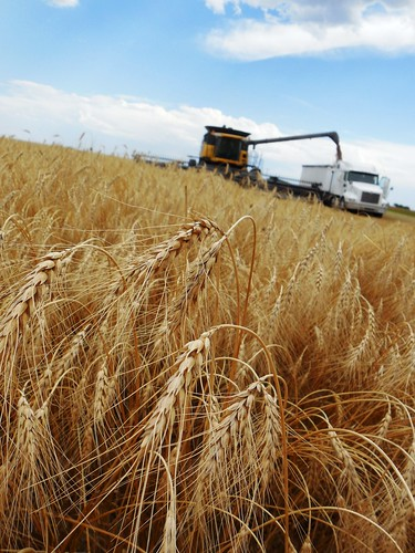 Wheat and unloading