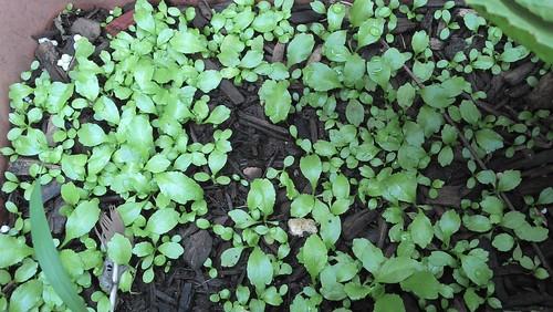 culantro seedbed