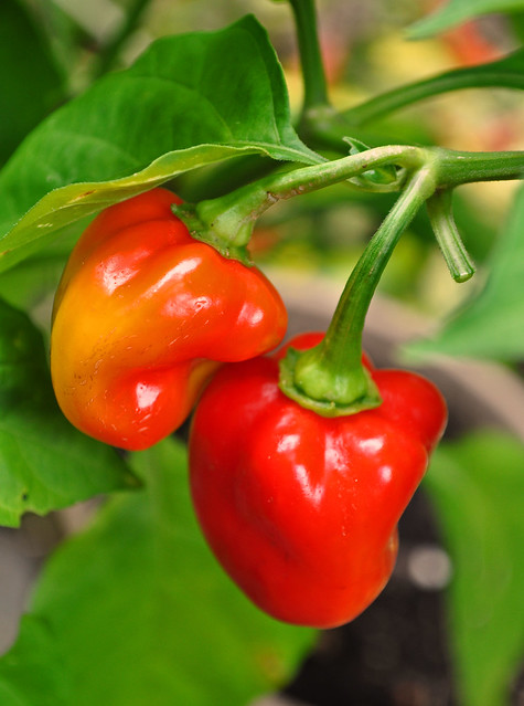 Capsicum chinense Scotch Bonnet Pepper
