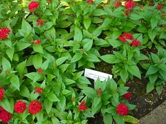 Egyptian star cluster flower