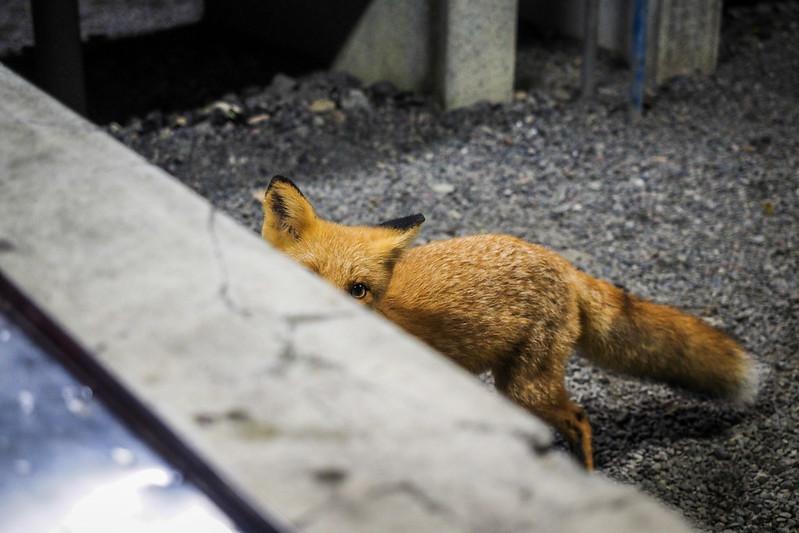 A cheeky fox at Hobetsu Campground, Hokkaido, Japan