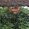 Walking home. Cicada jackpot. #cicada #nymph #exoskeleton #woodlandsphila