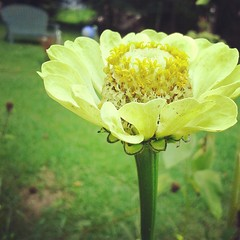 Didn't get too many zinnias; but this lime green one was cool. My grandmom Ruth liked zinnias a lot.