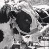 Este toro enamorado de la luna quería decirnos algo con la mirada mientras era expuesto en la Feria del Ganado de Firgas. Cómo la interpretas tú?