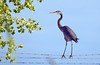 Great Blue Heron, Tres Rios