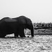 Elephant // Chobe National Park