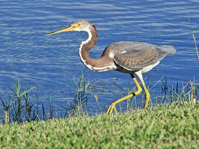 Tricolored Heron immature 6-20130912