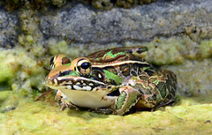 tree frog(0.0), european fire salamander(0.0), salamandra(0.0), animal(1.0), amphibian(1.0), toad(1.0), frog(1.0), marine biology(1.0), macro photography(1.0), fauna(1.0), close-up(1.0), ranidae(1.0), bullfrog(1.0), wildlife(1.0),