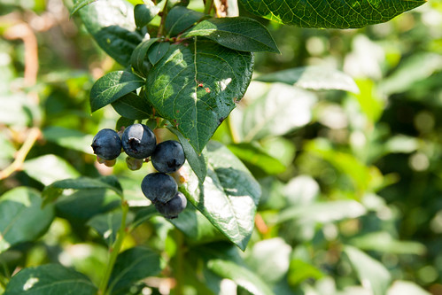 09blueberries-2.jpg