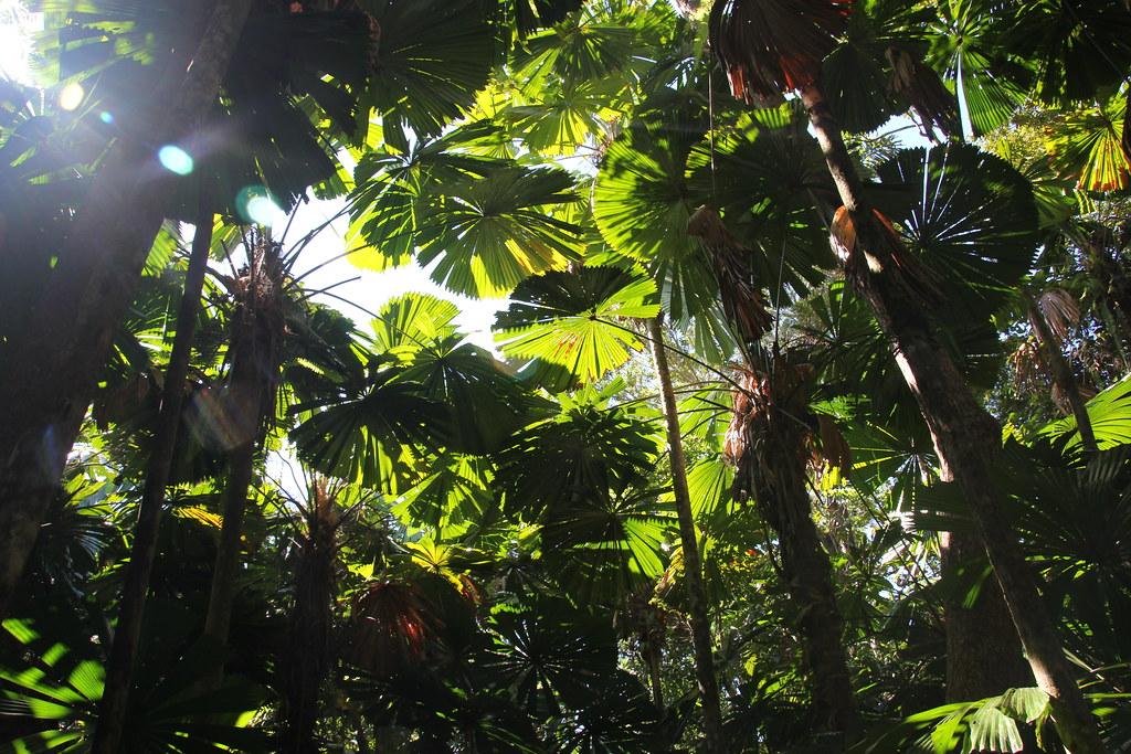 daintree rainforest, daintree river, daintree river ferry, cape tribulation, myall beach, cape tribulation beach. thornton beach, cape tribulation exotic fruit farm, jungle surfing, ferntree rainforest lodge, dubuji boardwalk, cassowary