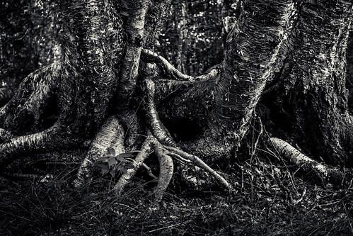 blackandwhite bw canada tree monochrome mono novascotia trail birch root 2014 capesplittrail fujixe2
