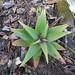 Aloe haroniensis by obety Jose Baptista