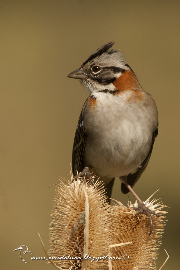 Chingolo, Rufous-collared Sparrow, Zonotrichia capensis