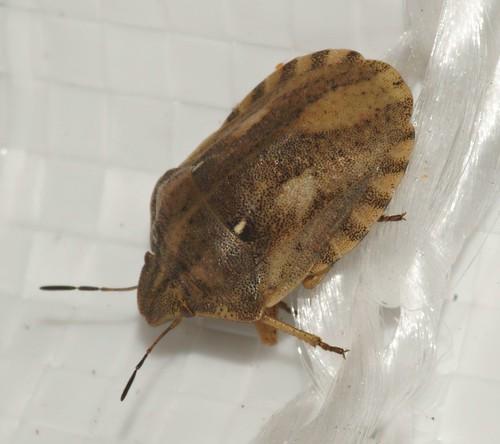 Tortoise shieldbug (Eurygaster sp.)