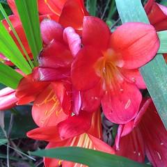 amaryllis belladonna(1.0), flower(1.0), plant(1.0), gladiolus(1.0), flora(1.0), pink(1.0), petal(1.0),