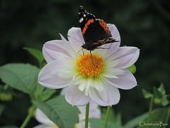 Butterfly & Dahlia