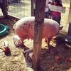 Big pig & progeny