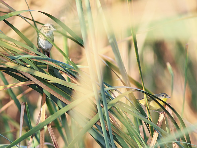 Lincolns Sparrow and Common Yellowthroat 20140929