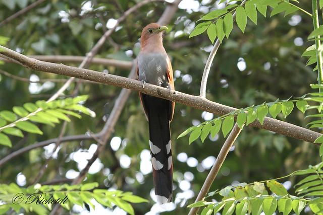 Piaye écureuil / squirrel cuckoo