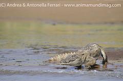 Marsh Crocodile Crocodylus palustris