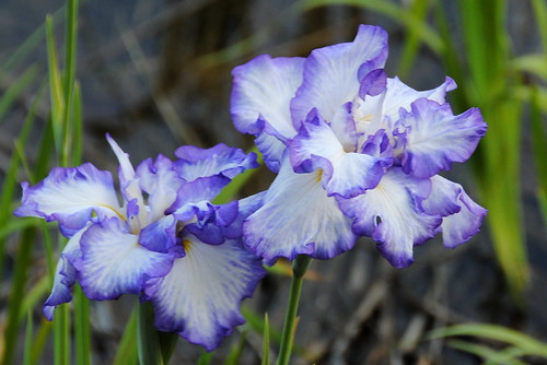 Iris Matsuri 001r