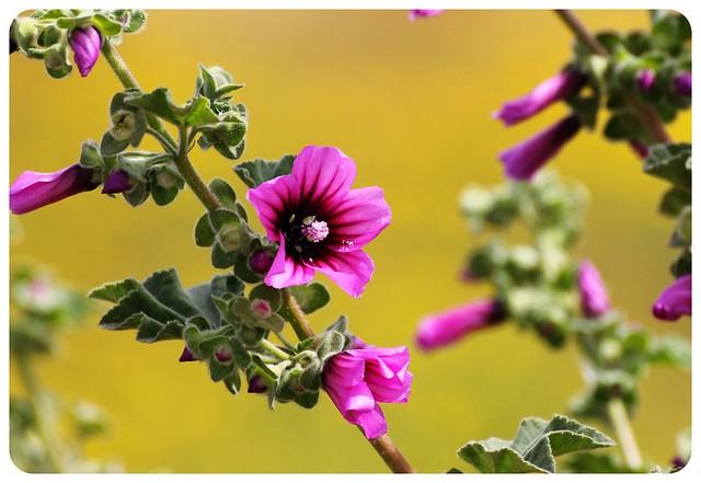 malta wild flower