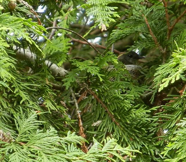 American redstart nest